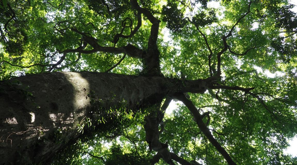高尾山の知られざる自然。森林インストラクターと触れる「巨樹《パワーツリー》の魅力」
