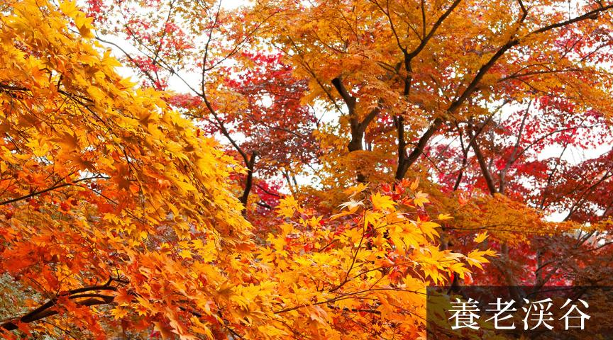 【養老渓谷】観光大使と巡る!養老渓谷紅葉刈りツアー。地元の絶品太巻き付き<街歩き>