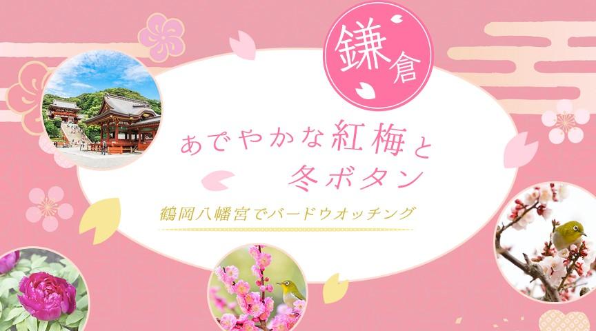 【鎌倉】 あでやかな紅梅や冬牡丹を愛で、鶴岡八幡宮でバードウオッチング!