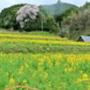 NPO法人さくらい菜の花プロジェクト