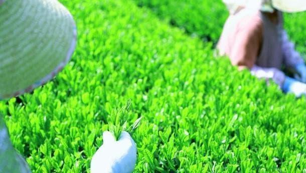 【藤野倶楽部】ランチ付き!有機無農薬のお茶摘み体験 摘みたての茶葉を味わおう@相模原市