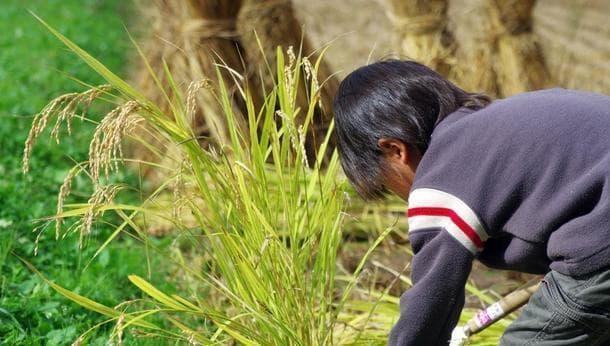 【鹿嶋】お土産のお米をお楽しみに!一年に一度の自然栽培稲刈り