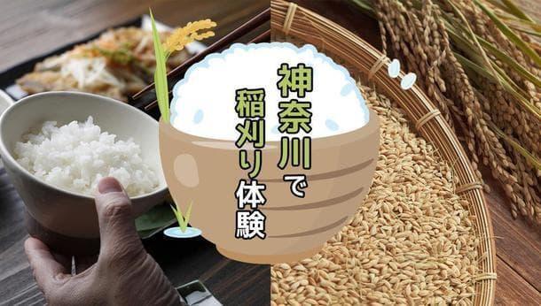 【神奈川県大井町、南関東最古の稲作の地】2400年前からの歴史ある土地で稲刈り体験をしよう!
