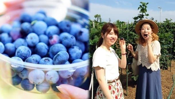【千葉・八街】ブルーベリーが全品種食べ放題!好きな味を摘み取ろう〜フルーツみたいに甘いトウモロコシも〜