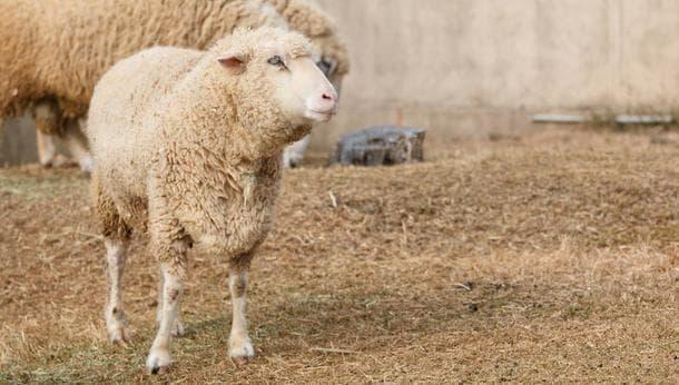 【神奈川県相模原市】一から作り出す下着づくり~羊のお世話・糸紡ぎ・製作体験~
